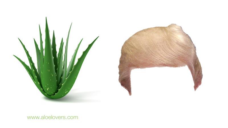 Aloe Vera per capelli secchi e sfibrati